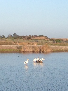 Pelicans along the Bay Trail